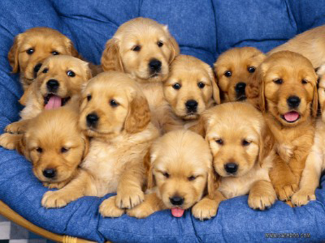 Cute-golden-retriever-puppies-400x300